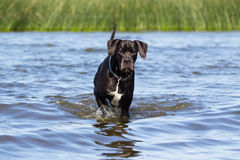 Black great dane Stock Photos