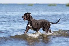 Black great dane Stock Image