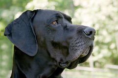 Black Great Dane Royalty Free Stock Photo