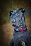 Black Great Dane dog Stock Photo