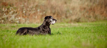 Black great dane dog Royalty Free Stock Photography