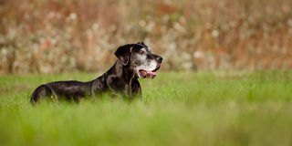 Black great dane dog Stock Image