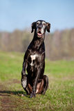 Black great dane dog Stock Images