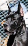 Black Great Dane Dog portrait Royalty Free Stock Photo