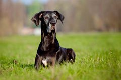 Black great dane dog portrait Royalty Free Stock Images