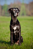 Black great dane dog portrait Stock Photography
