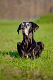 Black great dane dog portrait Stock Photos