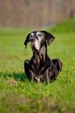 Black great dane dog portrait Stock Photos