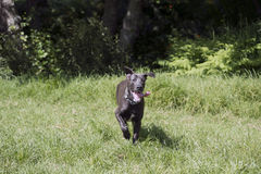 Black great dane Stock Photo