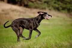 Black great dane dog running outdoors Royalty Free Stock Photos