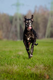 Black great dane dog running outdoors Stock Image