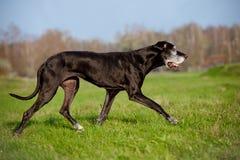Black great dane dog running outdoors Stock Photos