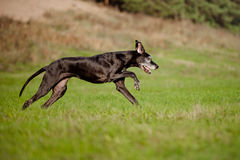 Black great dane dog running outdoors Royalty Free Stock Photos