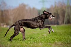 Black great dane dog running outdoors Royalty Free Stock Photography