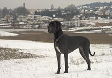 Black Great Dane dog Royalty Free Stock Image