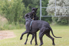 Black Great Dane dogs are are playing Royalty Free Stock Photo