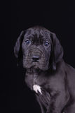 Black great dane puppy Royalty Free Stock Photos