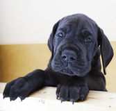 Black Great Dane puppy Royalty Free Stock Photography