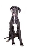 Black Great Dane on white Royalty Free Stock Photos
