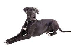 Black Great Dane on white Stock Images