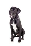 Black Great Dane on white Royalty Free Stock Images