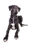 Black Great Dane on white Stock Photos