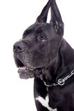 Black Great Dane on white Stock Photography