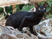 Black greek cat is lurking Stock Image
