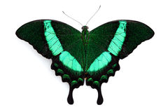 Black and green butterfly Stock Photos