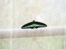 Butterfly. The black and green butterfly Royalty Free Stock Photography