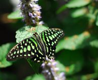 Black green Butterfly insect. Feeding on a green leaf Royalty Free Stock Photo