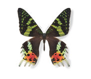 Black and green butterfly isolated Stock Photo