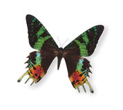 Black and green butterfly isolated on white Royalty Free Stock Photos