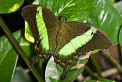 Black with green butterfly Stock Images