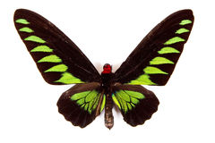 Black and green butterfly Trogonoptera brookiana Stock Image