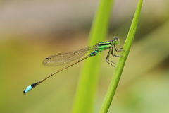 Black and green damselfly Royalty Free Stock Image