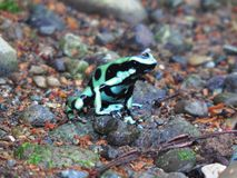 Black and Green Dart Frog-Ranita Venenosa Verdinegra-Dentrobates auratos Royalty Free Stock Photos