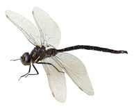 Black green dragonfly Royalty Free Stock Photo