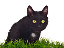 Black green-eyed cat behind grass isolated Royalty Free Stock Photography