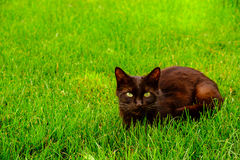 Black with green eyes cat on the green grass Stock Photography