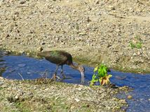 Sand piper bird. Black and green feThered long legged bird digs through the river bed searching for food Royalty Free Stock Photography