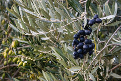Black and green olives ripening on olive tree Stock Photos