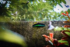 Black Green Shaded Butterfly sitting on wall.  stock image
