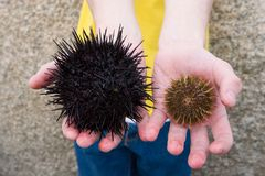 Black and grey. Two kinds of sea hedgehogs(black and grey) lay in man's hands Stock Photography