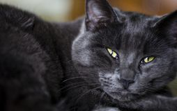 Black and Grey Cat eyes. A black and grey cat watching with green diabolic eyes royalty free stock photography