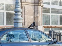Black and grey crow sitting on car rooftop in urban area. Crow damaged car roof stock photo