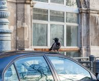 Black and grey crow sitting on car rooftop in urban area. Crow damaged car roof royalty free stock image