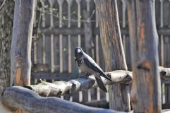 Black and grey crow Royalty Free Stock Photography