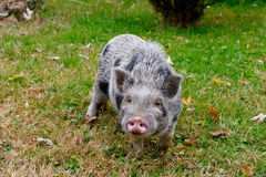 Black and Grey Haired Small Pig in the Grass. Small black and grey haired pig in an unkept, yard on an overcast day in the Autumn season.  If anyone knows what Stock Images