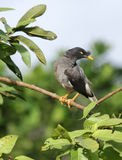 Black and grey Indian Myna staring at camera Stock Photos
